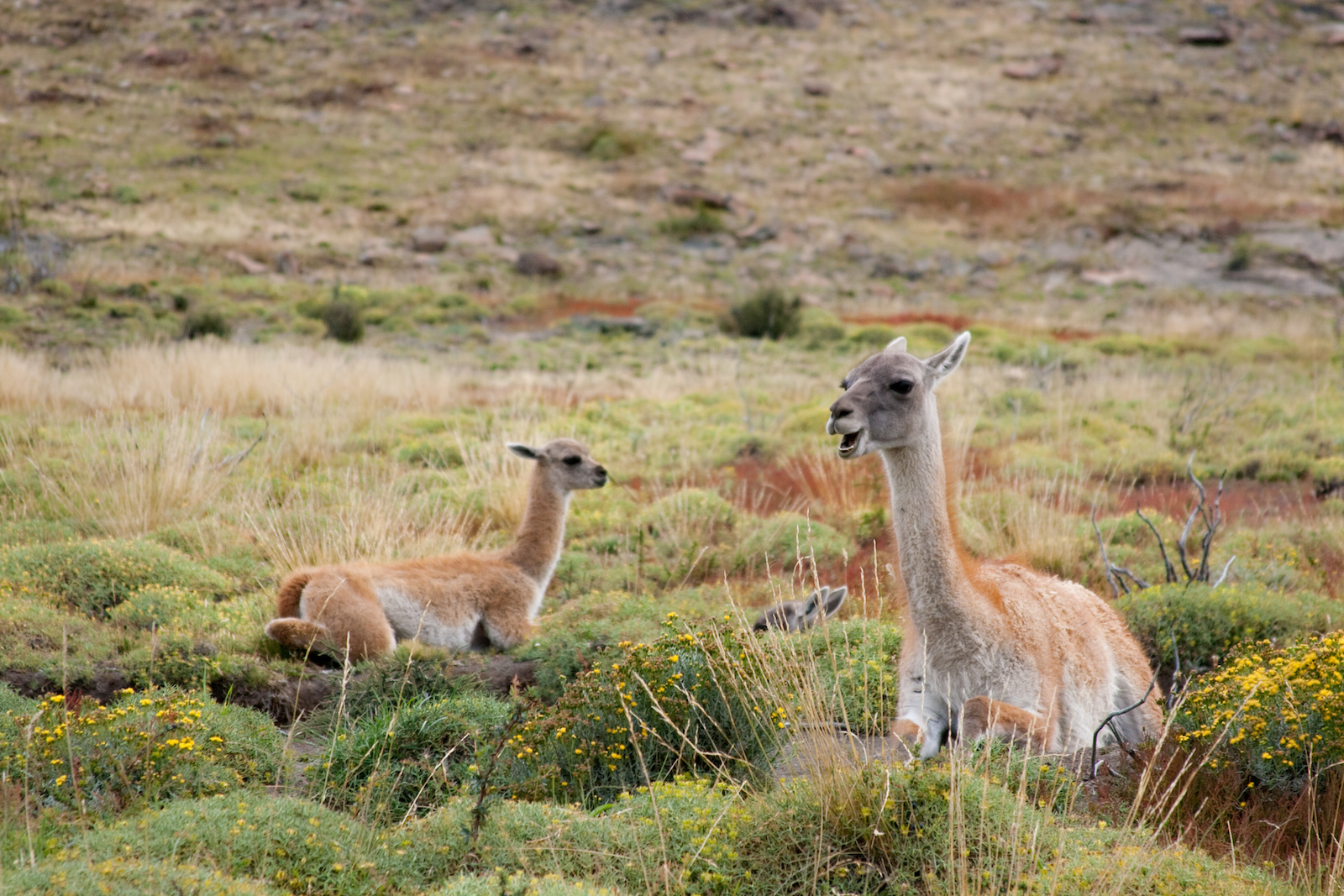 Guanacos in Torres del Paine. Photo: Evelyn Pfeiffer