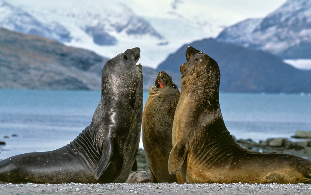 Elephant seals in Alberto de Agostini National Park. Photo: Nicolas Piwonka