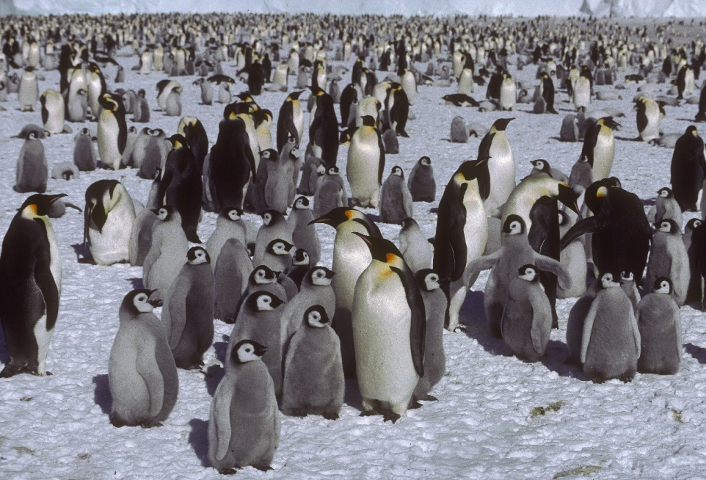Pingüinos emperador adultos. Foto: British Antarctic Survey