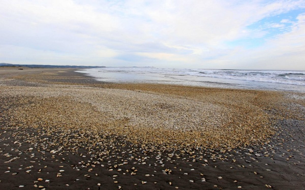Photo: Thousands of dead clams recently washed up on the shores of Chiloe Island.