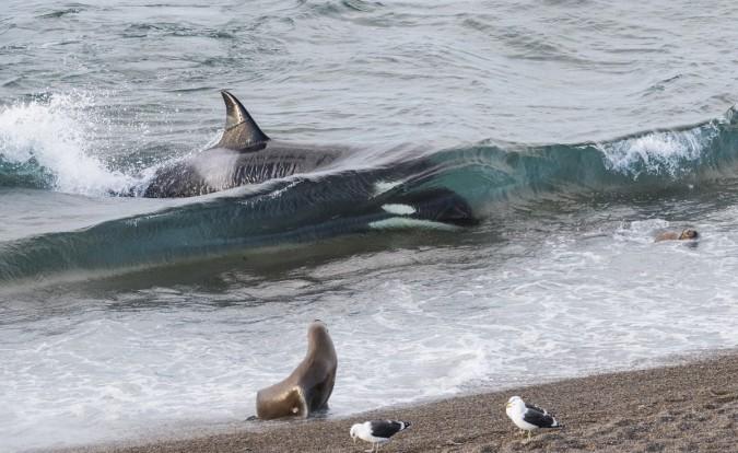 Orca cazando en Punta Norte. Foto: Jorge Cazenave