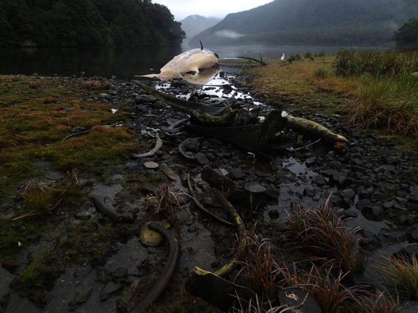 La ballena sei está en lista roja de la UICN, y es considerada en peligro de extinción a nivel mundial. Foto: Vreni Häussermann