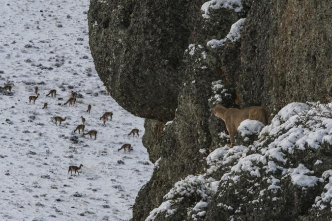 Puma escondido acechando guanacos. Estancia Laguna Amarga. Foto: Jorge Cazenave