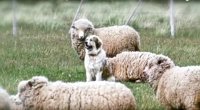 Un perro protector de rebaño en Cochrane, Aysén. Los ganaderos de la zona de Cochrane han utilizado con éxito a los perros protectores para espantar a los predadores como el puma. Foto: Jimmy Valdes