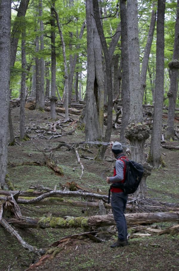 Buscando individuos por telemetría en un bosque de lenga. Foto: The Trackers
