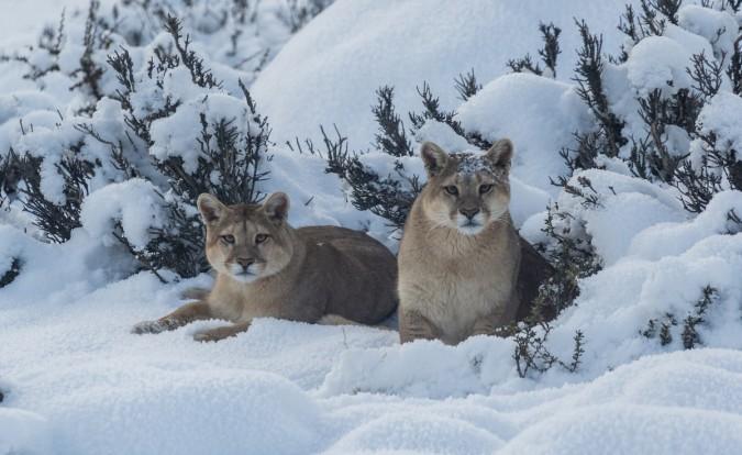La Hermana y Mocha, los pumas mas famosos del mundo. Foto: Jorge Cazenave